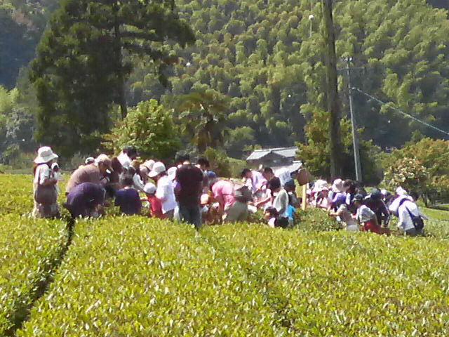 茶摘み体験ツアー第二弾開催中!